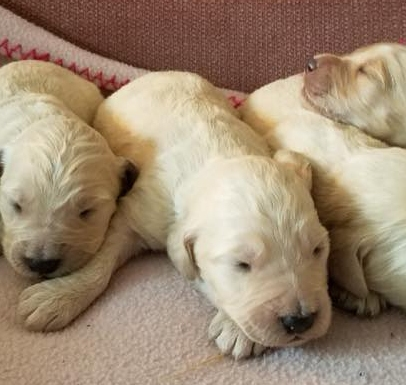 Goldens & Doodles | Golden Doodles Puppies for Sale in Moses